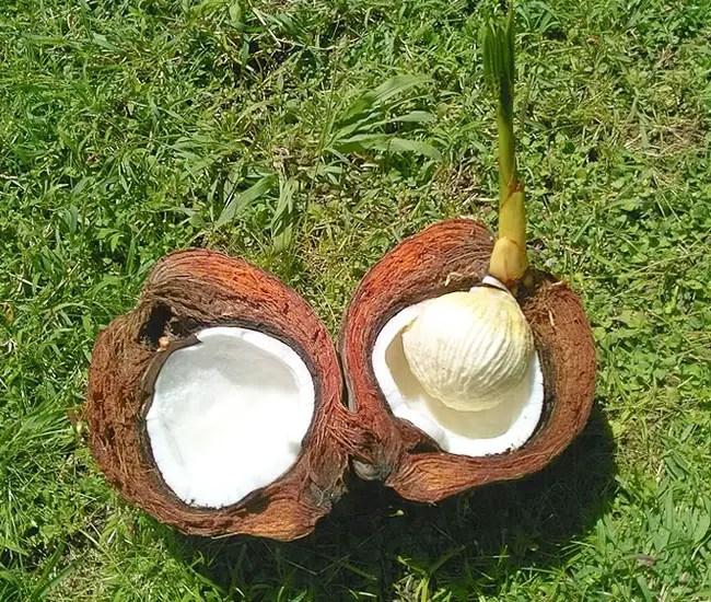 Coconut Palm Tree (Cocos nucifera) fruit, coconut