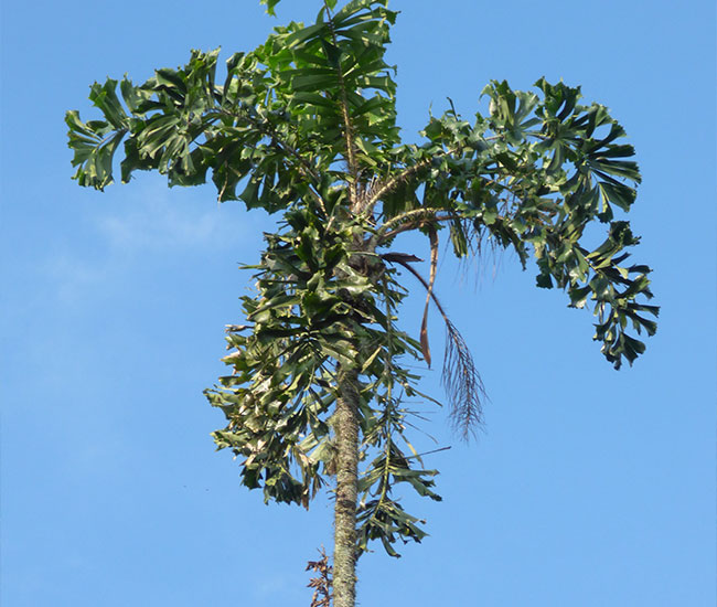 Coyure Palm Tree (Aiphanes horrida)