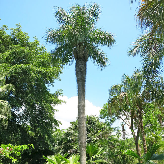 Cuban Belly Palm Tree (Acrocomia crispa)