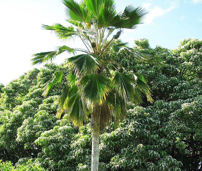 Fiji Fan Palm Tree (Pritchardia pacifica)