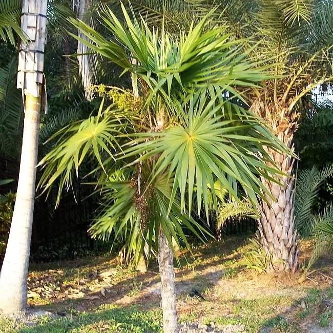 Florida Thatch Palm Tree (Thrinax radiata)