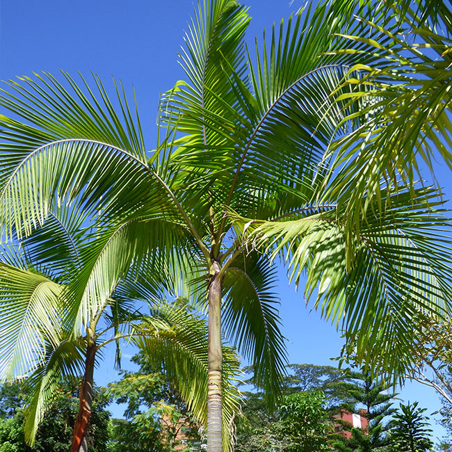 King Palm Tree (Archontophoenix cunninghamiana)