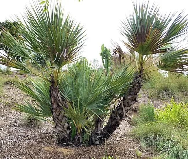 Mazari Palm Tree (Nannorrhops ritchiana).