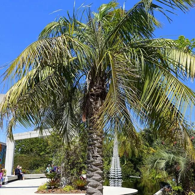 Mule Palm Tree (Butiagrus nabonnandii).