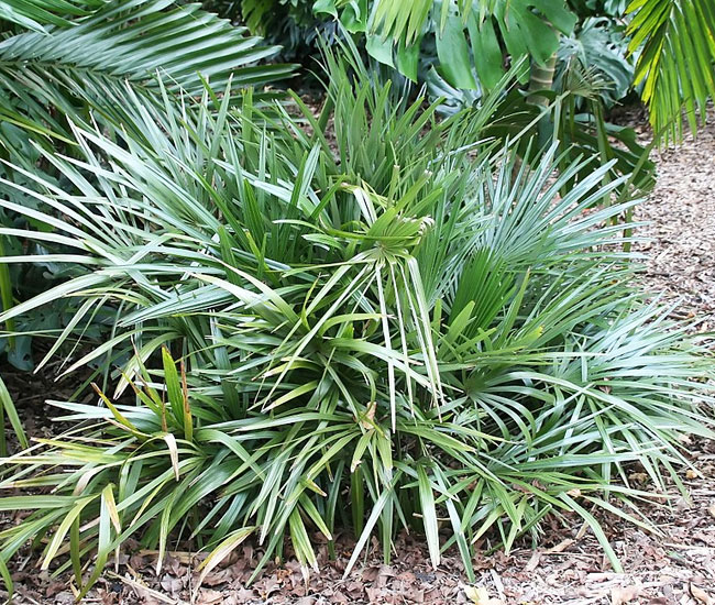 Needle Palm Tree (Rhapidophyllum hystrix).