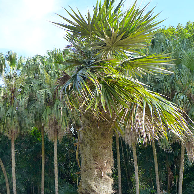 Old Man Palm Tree (Coccothrinax crinita)