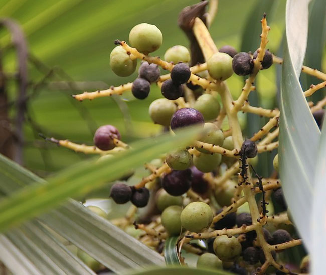 Old Man Palm Tree (Coccothrinax crinita) fruits