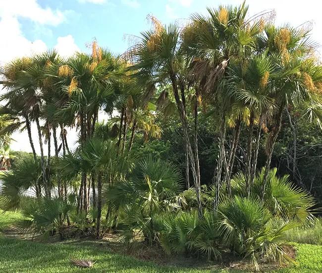 Paurotis Palm Tree (Acoelorrhaphe wrightii)