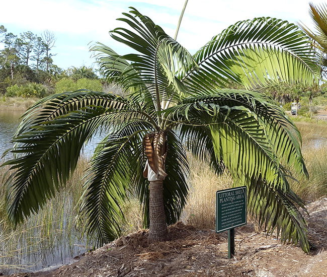 Princess Palm Tree (Dictyosperma album)