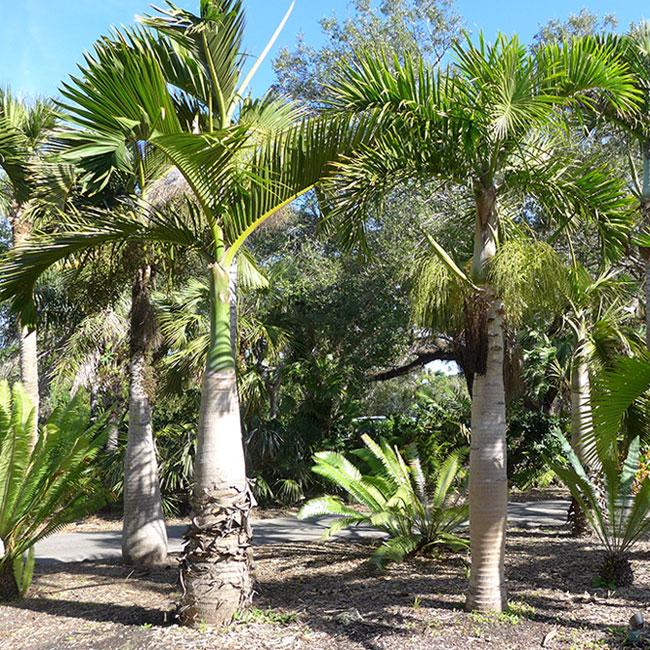 Spindle Palm Tree (Hyophorbe verschaffeltii)