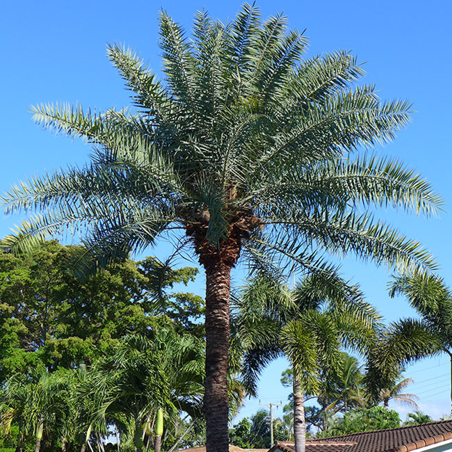 Sylvester Date Palm Tree (Phoenix sylvestris).