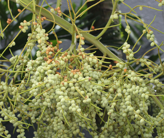 Teddy Bear Palm Tree (Dypsis leptocheilos) fruits