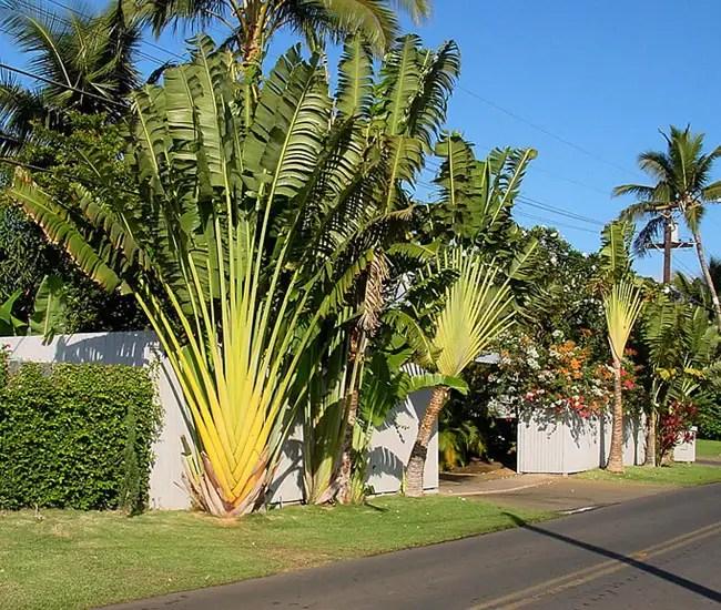 Travelers Palm Tree (Ravenala madagascariensis)
