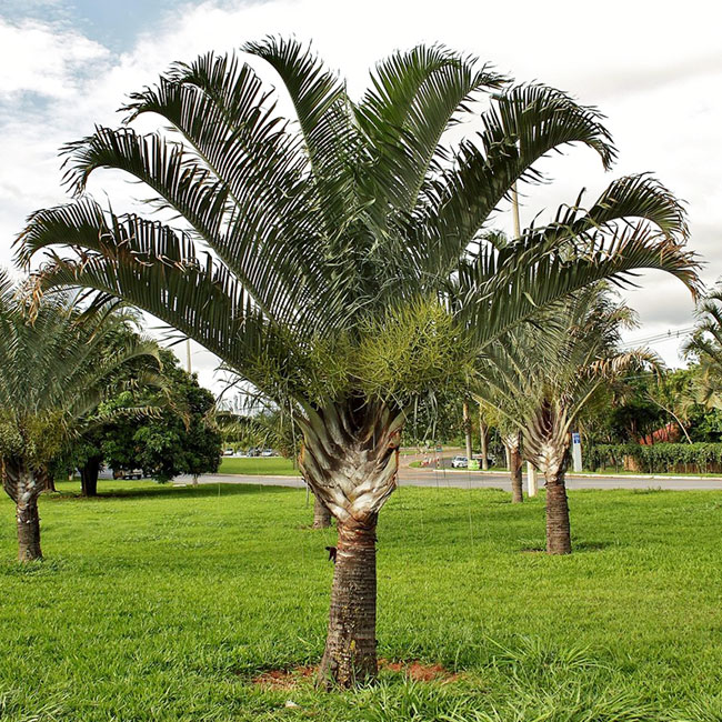 Triangle Palm Tree (Dypsis decaryi)
