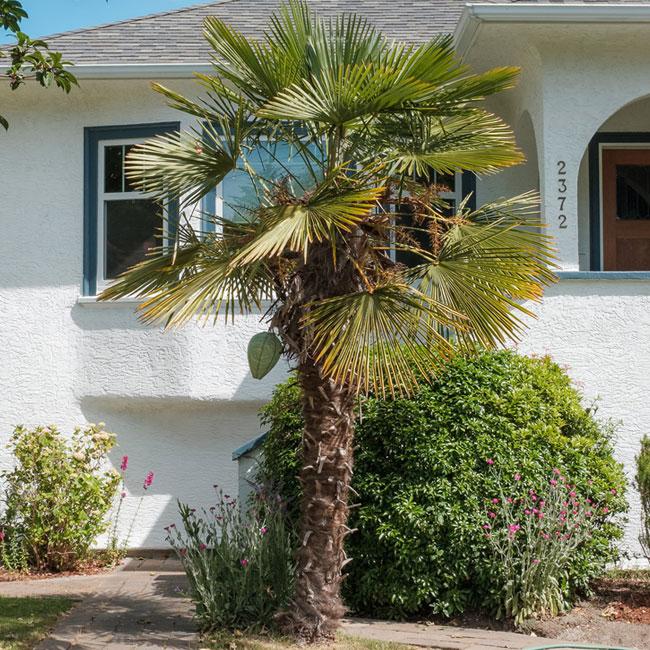 Windmill Palm Tree (Trachycarpus fortunei).