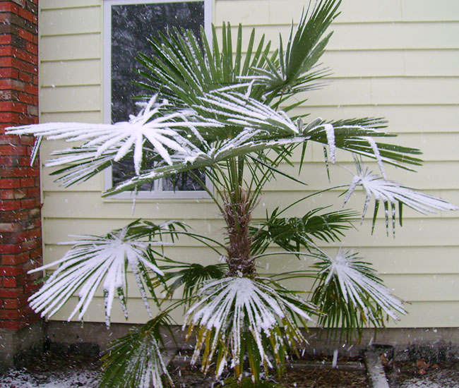 Windmill Palm Tree (Trachycarpus fortunei) under snow