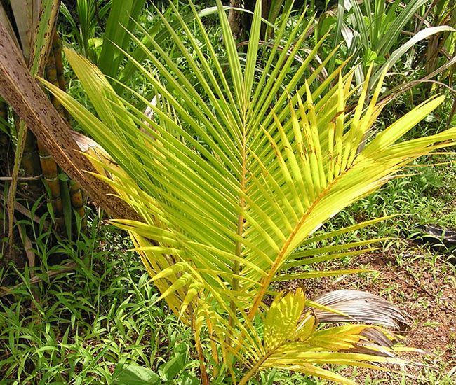 Nitrogen deficiency on Coconut Palm Tree (Cocos nucifera).