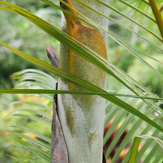 Areca Palm (Chrysalidocarpus lutescens or Dypsis lutescens) trunk.