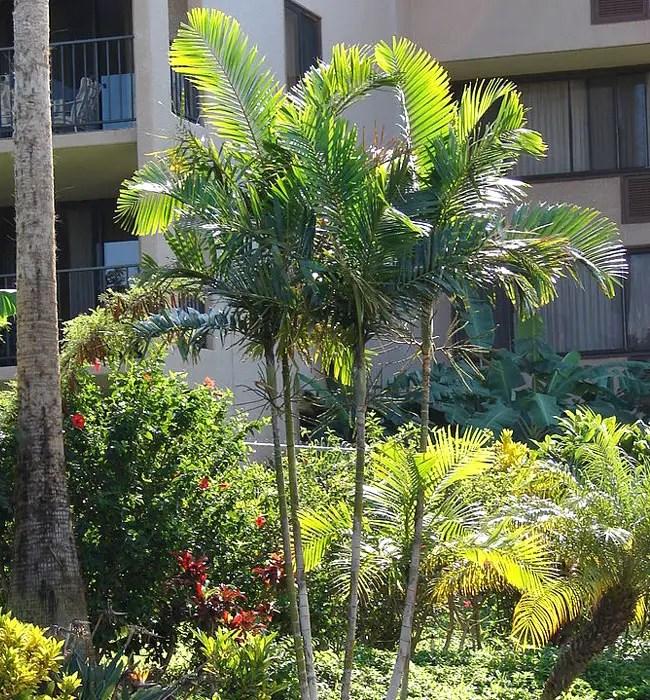 Areca Palm (Chrysalidocarpus lutescens or Dypsis lutescens).