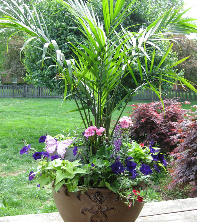 Picture of Areca Palm in the container with beautiful purple flowers.