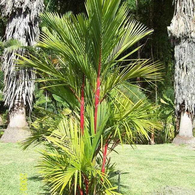 Lipstick Palm Tree (Cyrtostachys renda).