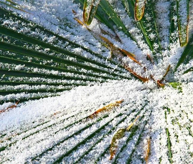 Snow on palm leaf.