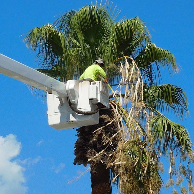 Tall palm tree trimming using hydraulic lift with a basket.