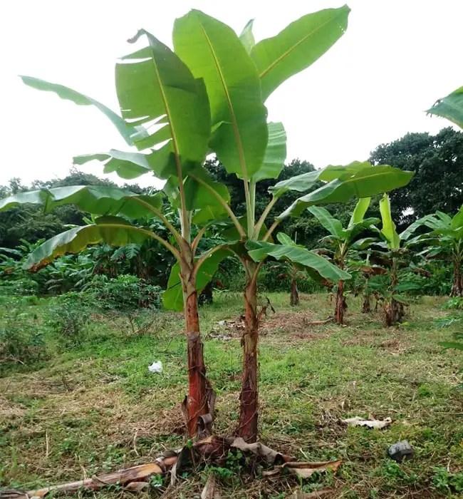 Banana Palm (Musa).