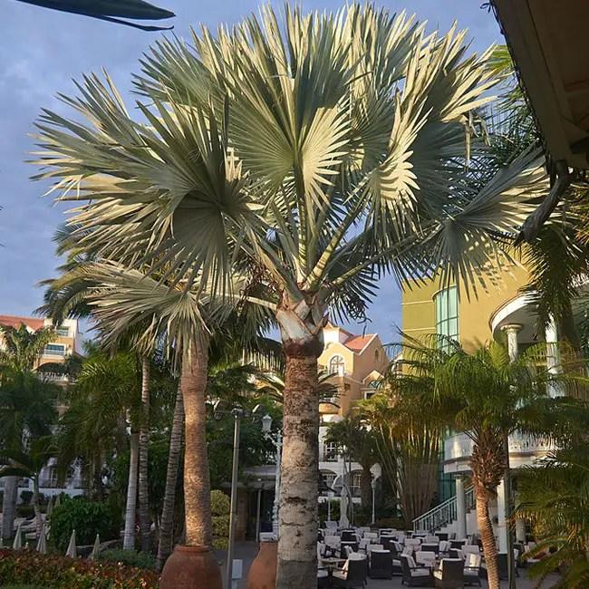 Bismarck Palm (Bismarckia nobilis).