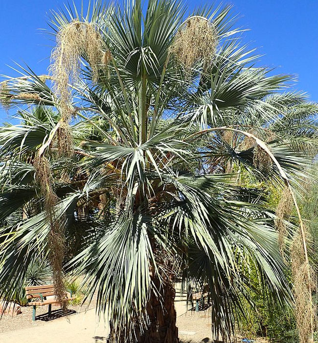 Blue Hesper Palm Tree (Brahea armata)