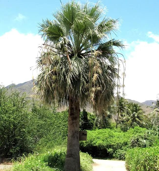 California Fan Palm (Washingtonia filifera)
