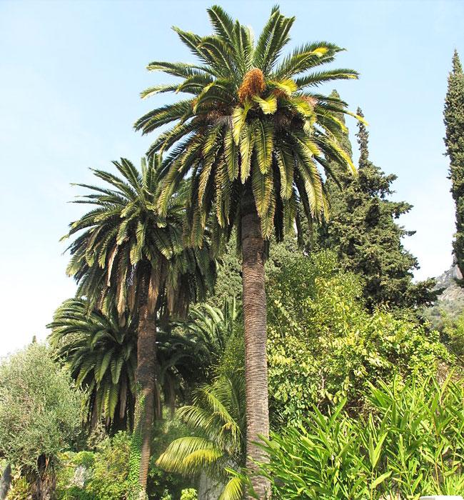 Canary Date Palm (Phoenix canariensis)