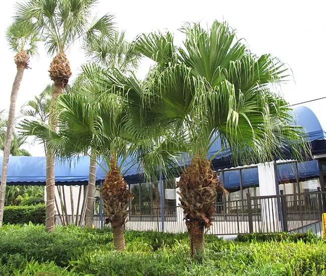 Chinese Fan Palm (Livistona chinensis)