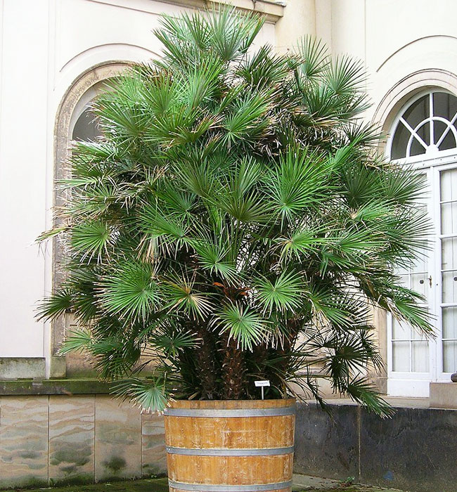 European Fan Palm (Chamaerops humilis).