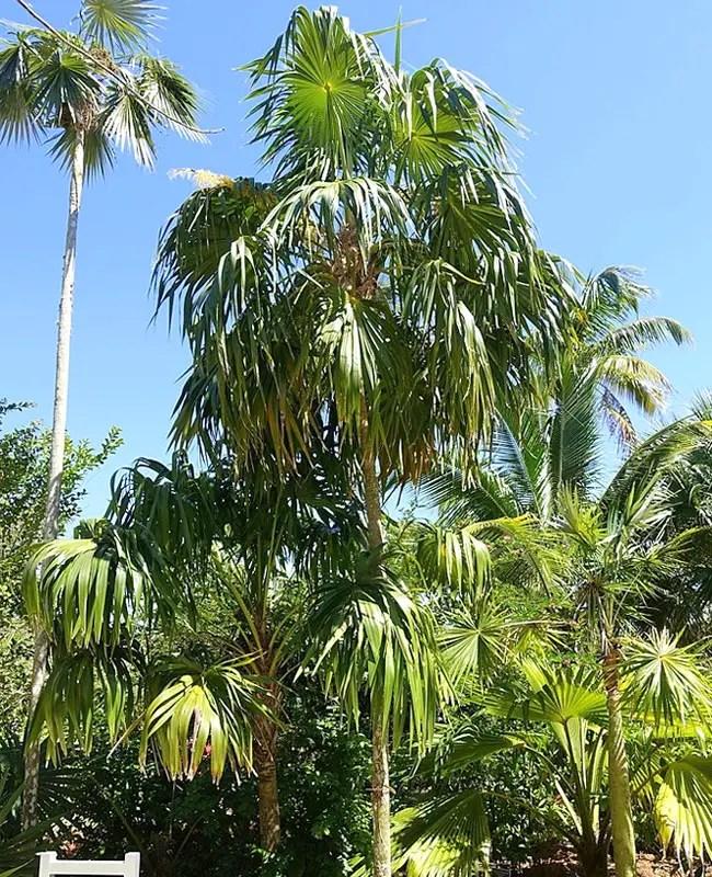 Florida Thatch Palm (Thrinax radiata).