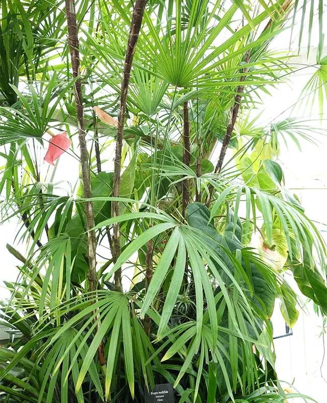 Jade Empress Palm Tree (Rhapis multifida).