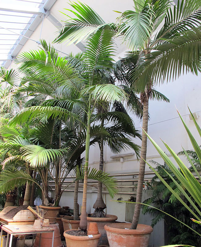 King Palm Tree (Archontophoenix cunninghamiana).