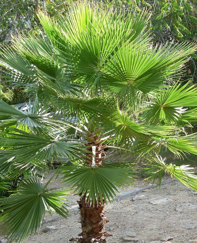 Mexican Fan Palm Tree (Washingtonia robusta)