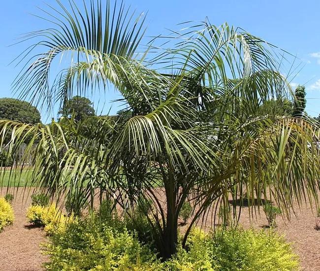 Mule Palm Tree (Butiagrus nabonnandii)