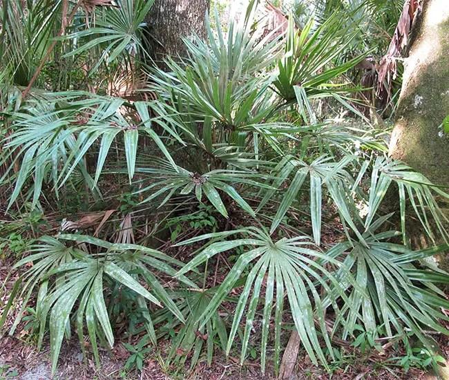 Needle Palm Tree (Rhapidophyllum hystrix)