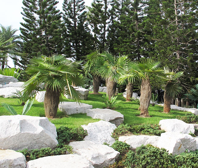 Old Man Palm Tree (Coccothrinax crinita).