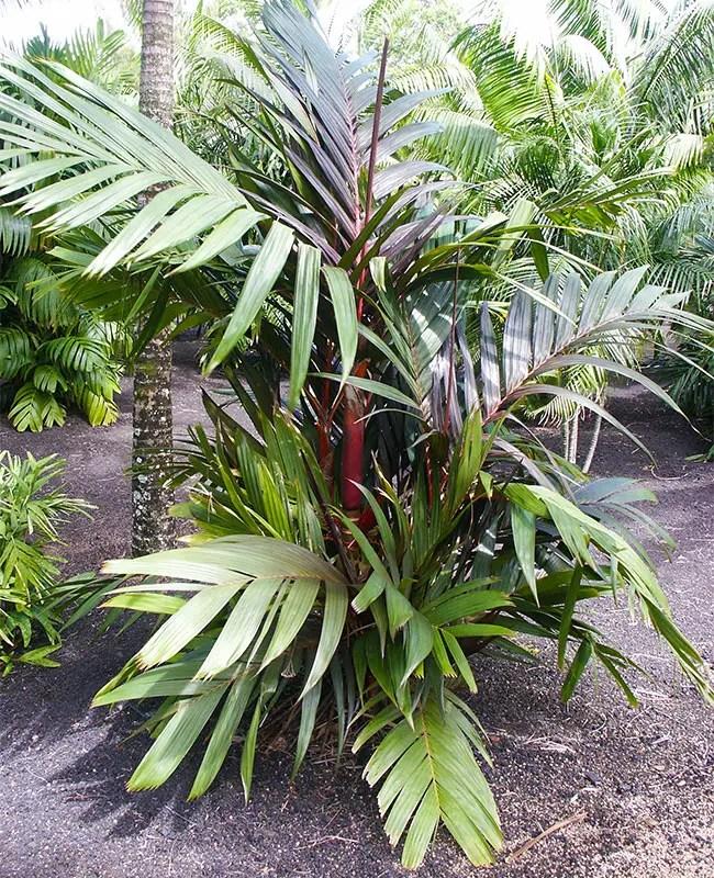 Orange Crownshaft Palm Tree (Areca vestiaria).