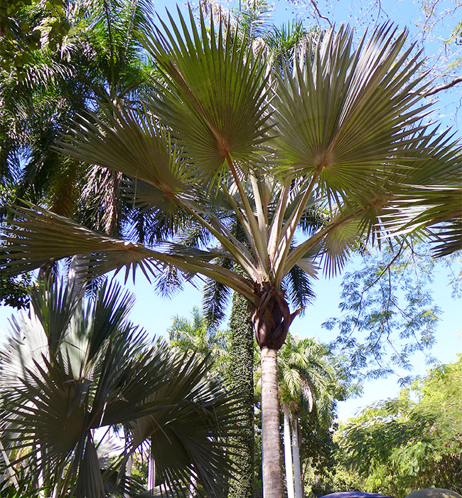 Red Latan Palm Tree (Latania lontaroides)