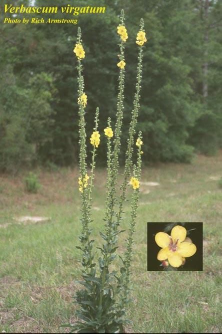 Verbascum Virgatum Photos Isb Atlas Of Florida Plants