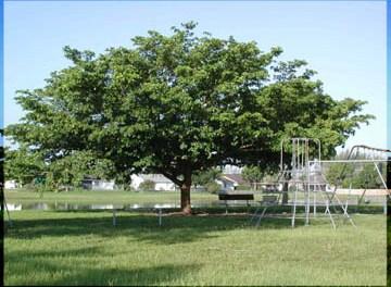 "FLORIDA ""BLACK OLIVE"" TREE, OXHORN BUCIDA, GREGORY WOOD"