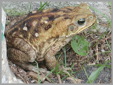 BUFO MARINUS – GIANT TOAD, CANE TOAD, MARINE TOAD