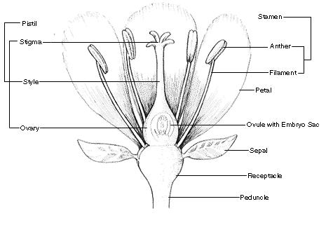 BOTANY 101 — FLOWER PARTS