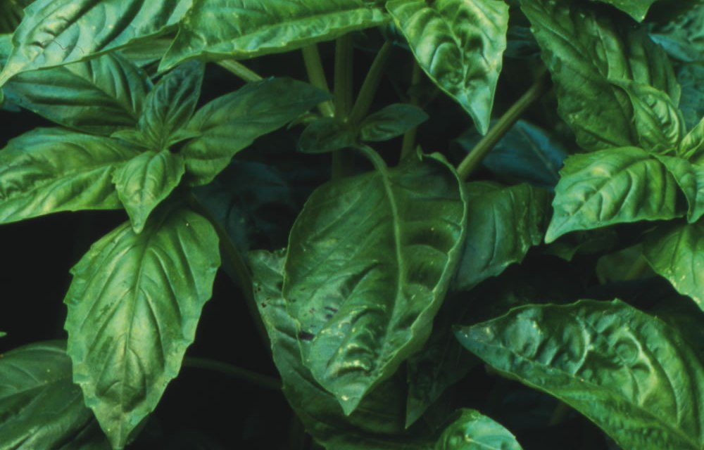 CAN YOU IMAGINE A GARDEN WITHOUT BASIL?