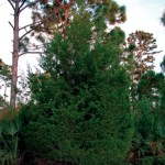 THEY GROW CHRISTMAS TREES IN FLORIDA!