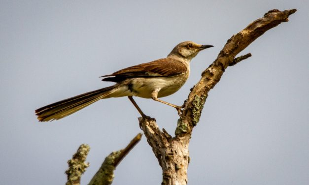 MIMUS POLYGLOTTOS, THE MOCKINGBIRD